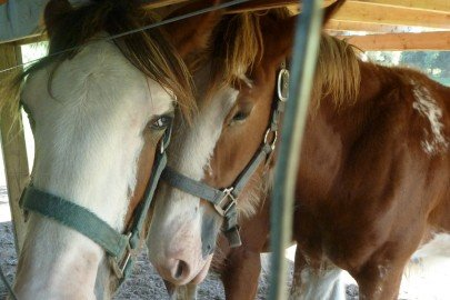 Clydesdale Ponies